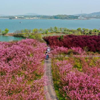 櫻花朵朵映碧水 仲春美景勝畫卷