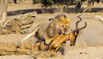 狮子猎杀羚羊全过程实拍