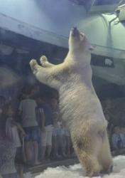 """世上""""最悲伤的北极熊"""""""