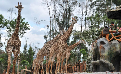 """非洲长颈鹿昆明驯化3年不畏生 与游客""""亲密接触"""""""