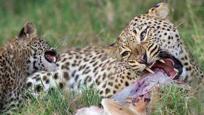 实拍悲情母豹逼蟒蛇吐出被幼仔 自己又将幼仔尸体吃掉