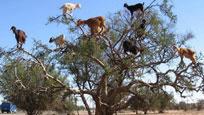 奇观!沙漠山羊为美食爬满树梢 排排站引众人围观