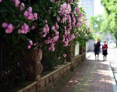 蔷薇花开正艳 最爱济南街头那片簇拥的美丽