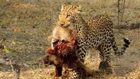 花豹捕捉羚羊撕咬 两只狒狒举动令其傻眼