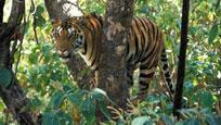 猴子在树上挑衅 老虎怒追上树下一秒悲剧了