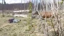 女子野外拍麋鹿离太近被撞飞几米远