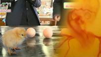 日本学生把鸡蛋打在杯子里 然后孵出小鸡