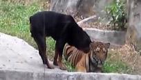 大胆狗狗居然和老虎抢美食 老虎都被吓懵了