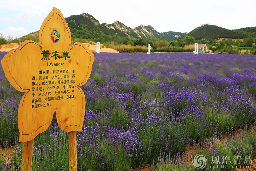 """西海岸生态观光园开启""""紫色梦幻季""""系列活动"""