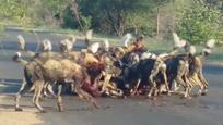 实拍非洲野狗群公路上哄抢大羚羊尸体
