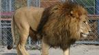 实拍巨型藏獒个头如狮子 震撼怒吼