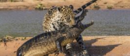巴西州立公园上演美洲豹大战鳄鱼
