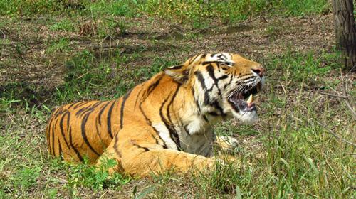 秦皇岛野生动物园老虎伤人事件