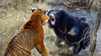 幼崽险遭老虎猎食 熊瞎子飞身一跃