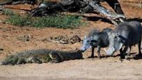 野猪作死挑衅鳄鱼 接下来一幕悲剧了