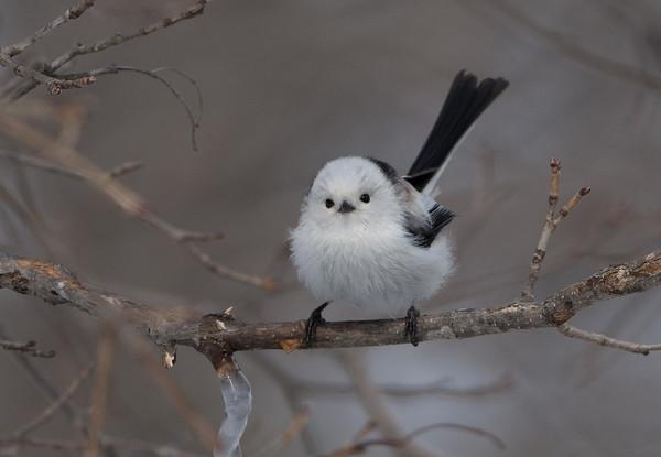 在a羽绒的冬季,羽绒披着厚厚的山雀长尾浑身看上去像一团糯米糍,呆萌呆南美白对虾钓鱼图片