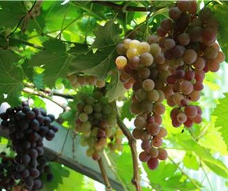 大泽山葡萄节带来科技创新 拉动产业升级