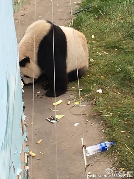 它可能是世界上最惨的熊猫 - 梅思特 - 你拥有很多,而我,只有你。。。