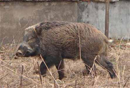 老知青忆:完达山上的野猪成群 一晚上糟蹋几亩地,重生之来日方长