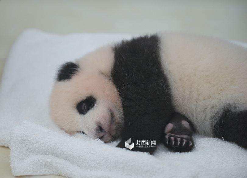 这几只大熊猫宝宝都是2016年刚出生的小家伙,大约只有两个月大.