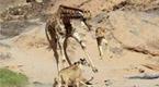 震撼!狮子跳3米高咬断长颈鹿脖子 一击毙命