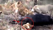 实拍狮子捕食野牛后脑袋卡入肛门 被活活憋死