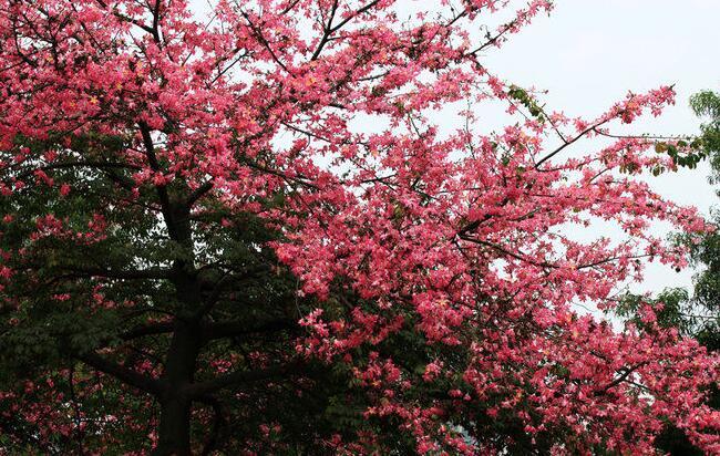 """正在海南各处绽放的美丽异木棉。 时值冬季,不少市民和游客在海南看到一种类似紫荆花的树花正在绽放,非常美丽。这种花长在高大的乔木树上,甚至看不到叶子,一树的绚烂,把海南的城市街道和乡下田野装扮的非常美丽。这种花就在每年的10月至12月满街盛放,成为一大景观。可是很多人不知道它叫什么,甚至误认为它是紫荆花,甚至误认为是紫薇。 告诉大家,这种花叫美丽异木棉,多好听的名字,且它正在海南大地上绽放。 """"没错,这是美丽异木棉树。"""" 海口市园林管理局相关园林专家说,丽异木棉树是木棉科异木棉属的"""