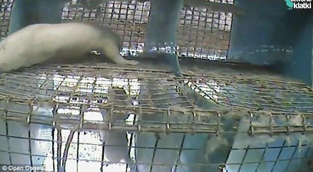 波兰水貂养殖场:貂被剥皮前被殴打瘫痪 - 梅思特 - 你拥有很多,而我,只有你。。。