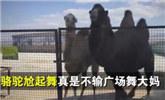英国两只骆驼为讨食物尬舞 步伐带劲胜过广场舞大妈