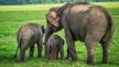 刚出生的小象打扰大象交配 被当球踢一小时