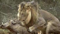 非洲野猪大战狮子 出现丧心病狂一幕