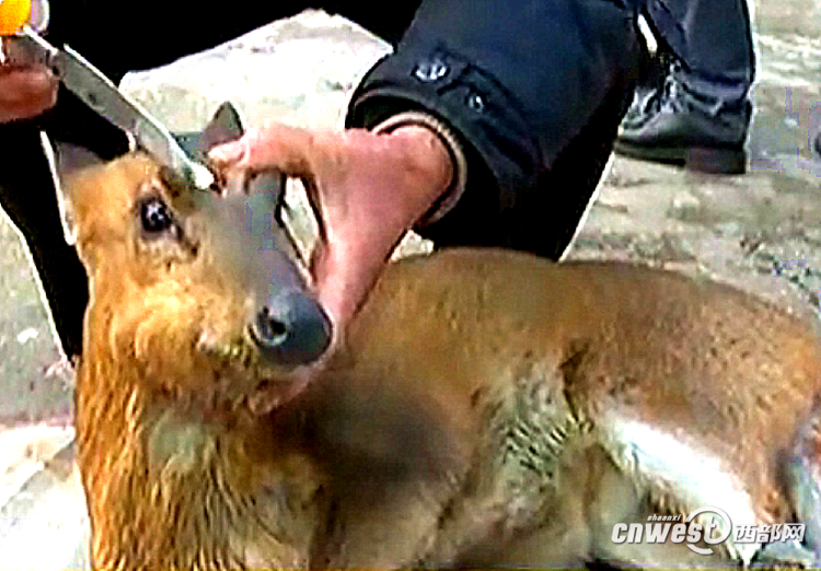 野生动物保护站工作人员在给母麂处理冻伤.