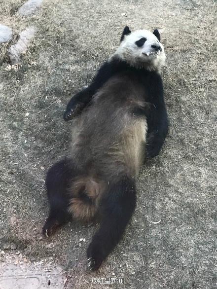 兰州动物园一大熊猫口吐白沫 回应:属正常现象