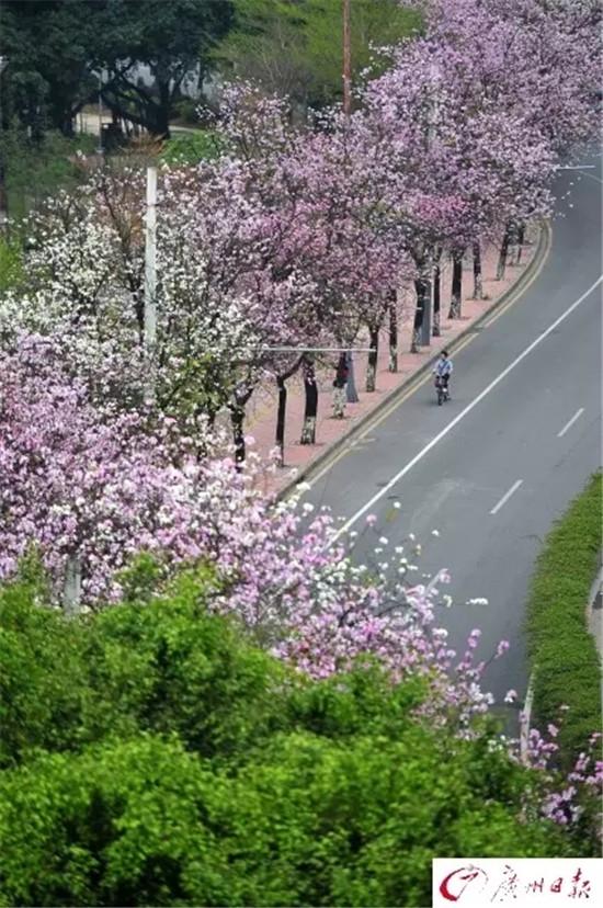 只见道路两边的紫荆已是满树繁花