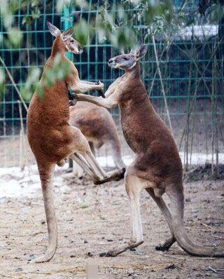 杭州动物园袋鼠打架 画面不可描述