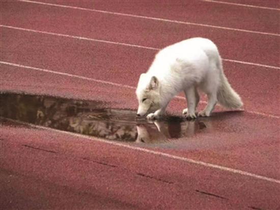 白狐闯入杭州一高中被赶跑