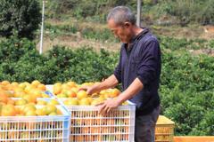 """秀山:产业扶贫""""橙""""果喜人"""
