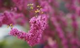 满树繁花竞春光 青岛迎来紫荆盛花期