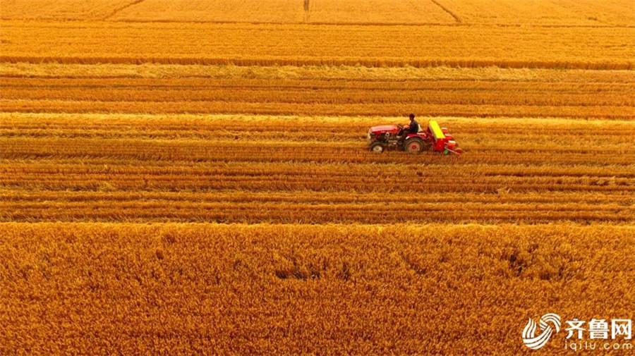 瞰新闻|山东东营黄河三角洲小麦获丰收