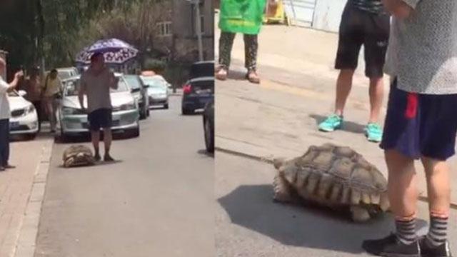 实拍辽宁大爷马路上遛乌龟 后面的轿车急死了