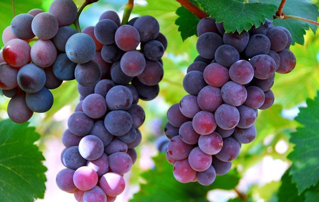 葡萄栽培如何施肥