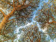 """森林""""树冠羞避""""奇观"""