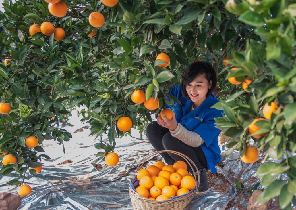 怎样预防柑橘裂果、落果和冻害