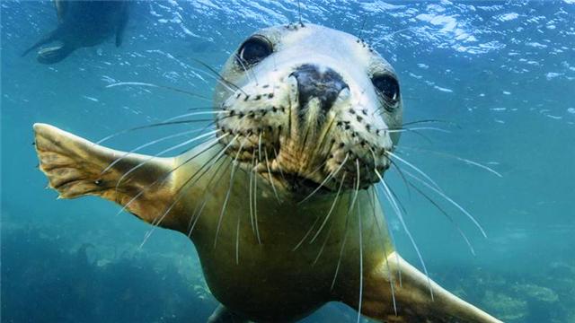 小海豹水中与潜水员嬉戏