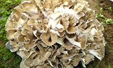 这个巨型蘑菇直径50厘米,比小孩子还大!