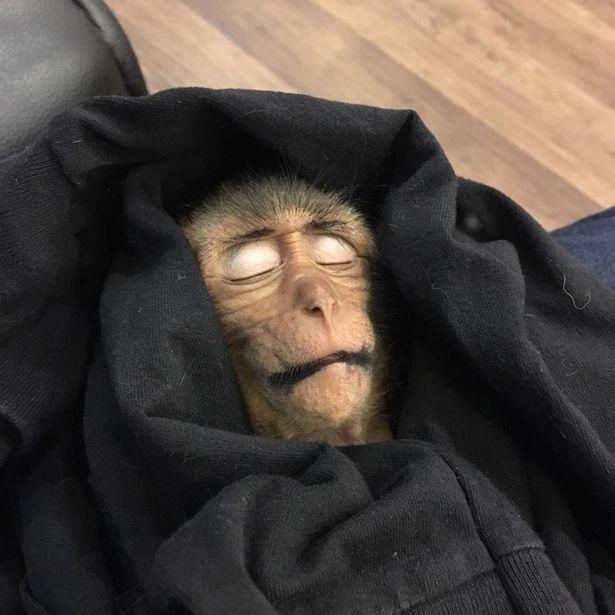猴子专偷喝摩托车油