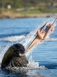 海豹撕碎章鱼惊险一幕
