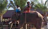 导游被象踩死 目击者:发生事故时驯象师仍在象背上