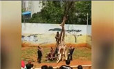 中国一动物园发生离奇命案 长颈鹿蹭痒痒蹭死了