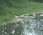 生態柘城 白鷺的家園